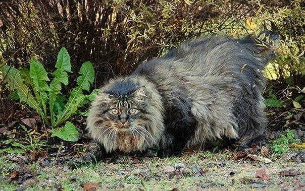10 самых гигантских котов в мире