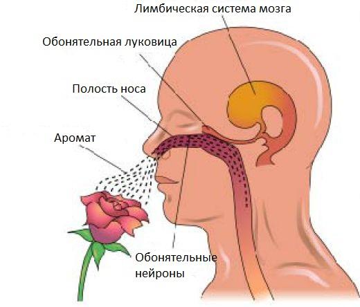 10 фактов про запахи