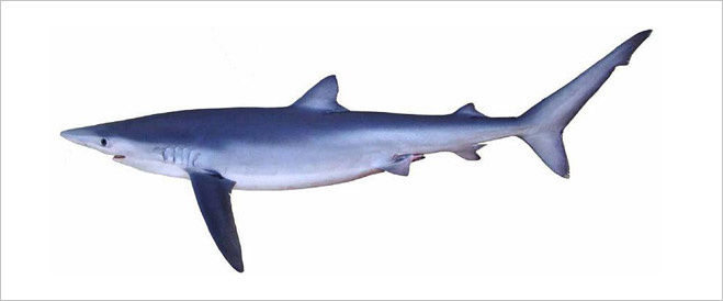 Что нужно знать об акулах