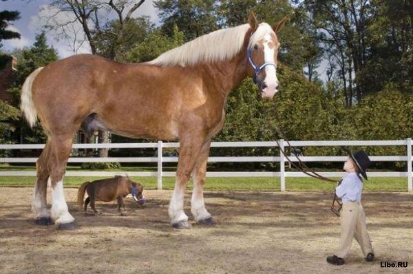 Тамбелина — самая маленькая в мире лошадь