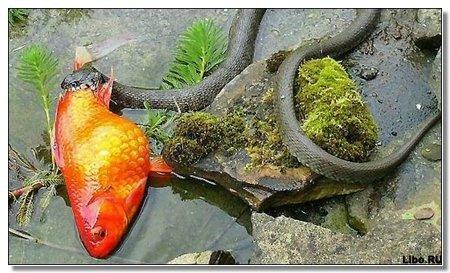 Сказка о любви и золотой рыбке