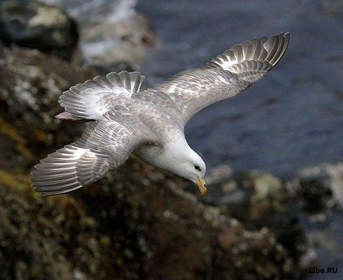 Самая старая птица Журавль Сибирский белый журавль (Crus