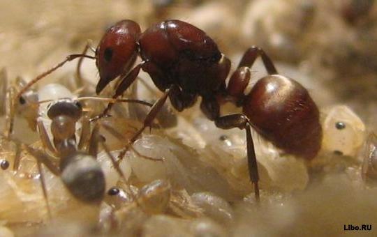 Достаточно поворошить край муравейника палкой - муравьи выползут.