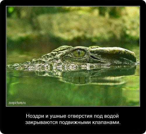 Факты о крокодилах