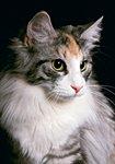 Продам, кошка, Норвежская лесная - Версия для печати All4Pet.RU