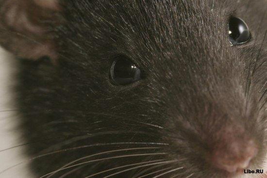 Факты о крысах