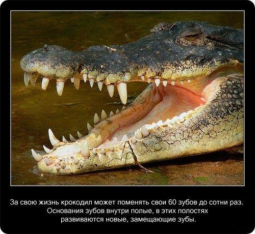 20 фактов о крокодилах