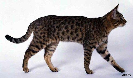 10 самых редких и дорогих пород кошек