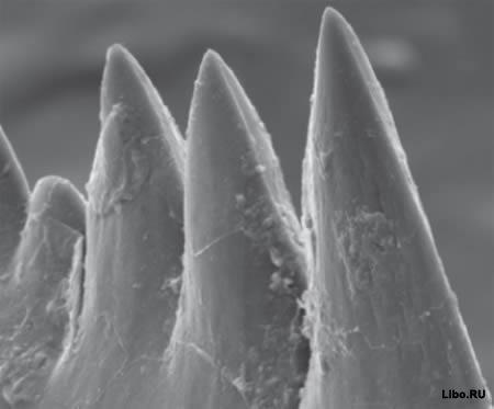 10 Животных с невероятными зубами